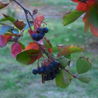 Гроздья чёрной рябины птичкам на зиму........ :: Любовь К.