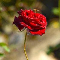Роза октября :: Nina Streapan