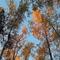 """Перья  """"жар птицы"""" в  кронах деревьев на  рассвете! :: Виталий Селиванов"""