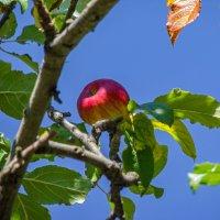 Лесное яблочко :: Варвара