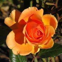 Очарование осенней розы :: Татьяна Георгиевна