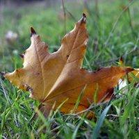 Брошен осенью лист кленовый.... :: Татьяна Ларионова