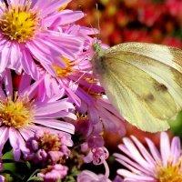 бабочка,  цветок,  осень. :: IVANA
