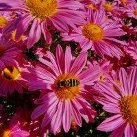 Журчалка на хризантеме. Хризантемы садовые. :: vodonos241