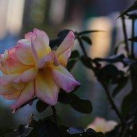 Закатная роза :: Юрий Гайворонский