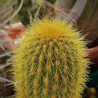 Желтый кактус :: Александр Деревяшкин