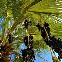 пальма плоды :: Александр Деревяшкин