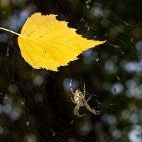 паук и лист web IMG_6507-25 :: Олег Петрушин