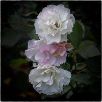 Октябрьские розы :: Александр