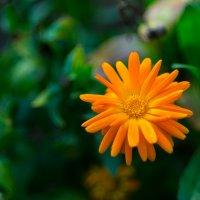 """яркое """"солнце"""" на огороде :: Ustas FritZZZ"""
