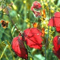 Красная бабочка :: Валерий