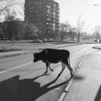 Один день городской коровы :: Валерий Михмель