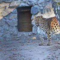 Дальневосточный леопард. :: Valeri Verovets