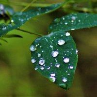 Капли дождя :: Сергей Чиняев