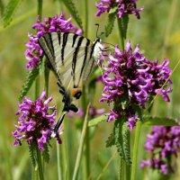 Семейство Парусники (Papilionidae).Подалирий (лат. Iphiclides podalirius) . :: vodonos241