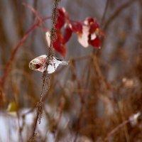 Обыкновенная чечетка (Acanthis flammea Linnaeus) :: Владислав Левашов