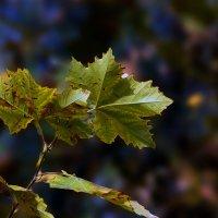 Кленовый лист. :: barsuk lesnoi