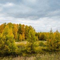 Пихты в октябре :: Юрий