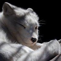 Песец (Полярная лисица) :: Владимир Шадрин