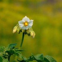 Когда цветёт картофель. :: nadyasilyuk Вознюк