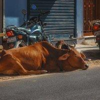 Священное животное... Джайпур.Индия! :: Александр Вивчарик