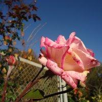 Розы ноября :: Ирина