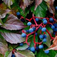 Девичий виноград пятилисточковый :: Надежд@ Шавенкова