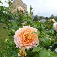 Розы Грузии :: Наиля