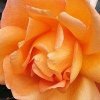 Розы ноября :: Александр Скамо