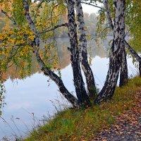 Берёзы  у  реки :: Геннадий Супрун