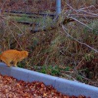 любопытный рыжий кот :: Наталья Сазонова