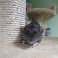 Крысёнок. :: Зинаида