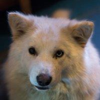 "Пёс ""Норд"" :: Алексей Авдеев"