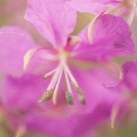 пестики-тычинки :: Дарья