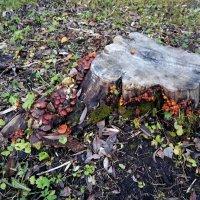 Пенёк с грибами :: Елена Павлова (Смолова)