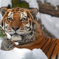 Амурский тигр. :: Виктор Шпаков