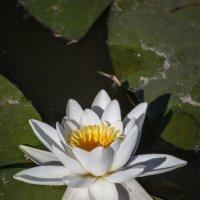 «…Просто белый прекрасный цветок   Любит воды недвижные озера,…»» :: Андрей Нибылица