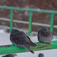 Голуби мёрзнут. :: Serge Lazareff