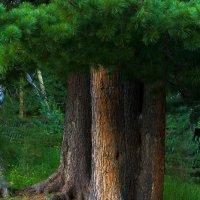Могучее дерево. Аршан. :: Nikolay Svetin