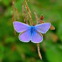 Бабочки голубянки :: Константин Анисимов