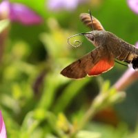 Почти колибри :: Виктор Масальский