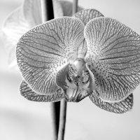 Orchidaceae :: Сергей Тарабара