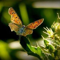 и снова бабочки 10 :: Александр Прокудин