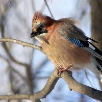 Птицы нашего лесопарка - сойка. :: Ната Волга