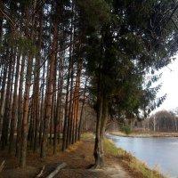 Могучих сосен статный ряд, шеренги стройные стоят. Макушки смотрят в небеса –  природы дивная краса :: Елена Павлова (Смолова)