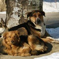Собаки. :: barsuk lesnoi