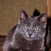 Коте :: Андрей Самуйлов
