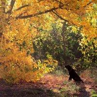 Осень и лабрадор :: Александр