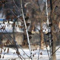 Зимние напевы. :: barsuk lesnoi