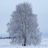 Одинокая береза :: Алексей Сметкин